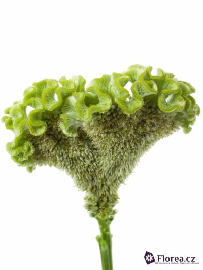 CELOSIA CRISTATA BOMBAY GREEN 60cm