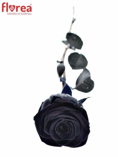 ROSA BLACK RED NAOMI! 70cm - ČERNÁ RŮŽE