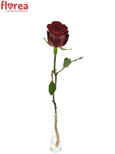 ROSA ABBA 60cm (XL)