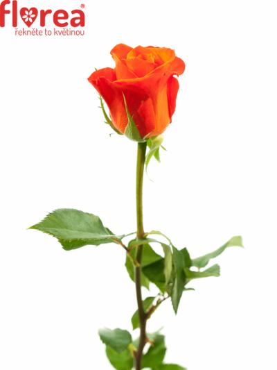 ROSA ALMANZA 70cm