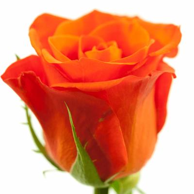 Červená růže ALMANZA 70cm