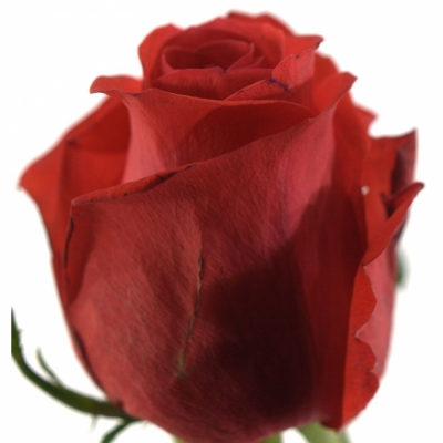 Červená růže AWARD