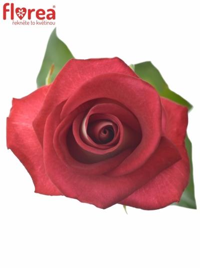 ROSA BLUEZ+ 70cm (L)
