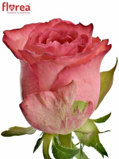ROSA BRENDT 50cm (S)