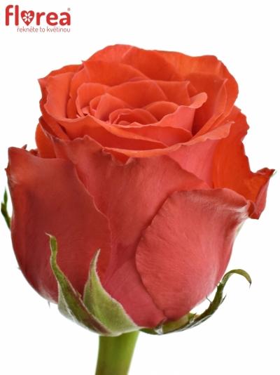 ROSA BRIGHT TORCH 50cm (M)