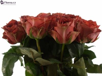 ROSA CONFUSION 60cm