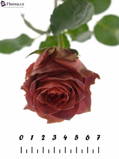 Červená růže CONFUSION