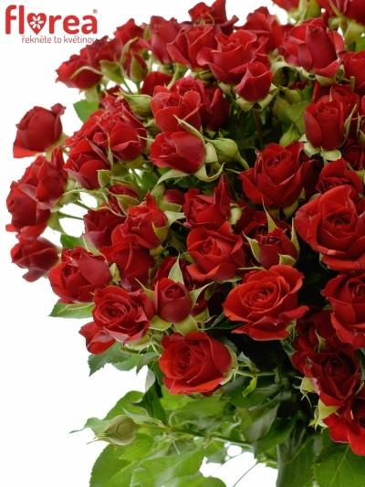 Červená růže DOMINICA 50cm/5+