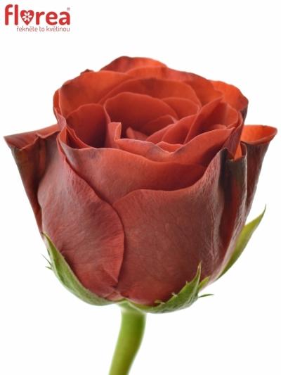 Červená růže EL TORO 70cm (XL)