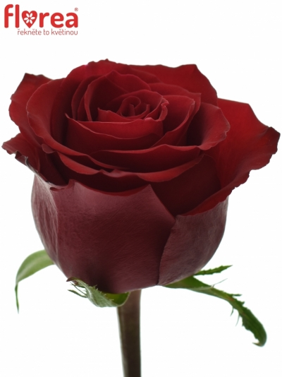 ROSA EVER RED 70cm (XL)