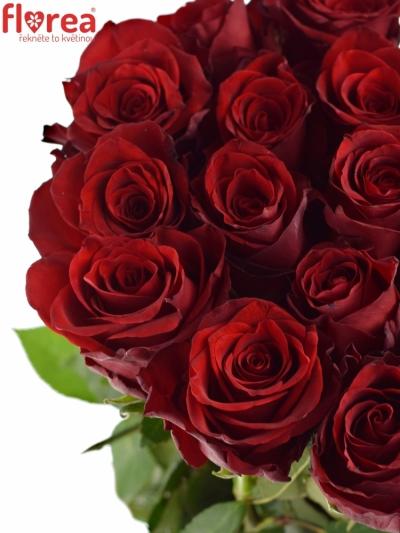 Červená růže EXPLORER