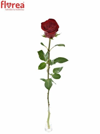 ROSA FREEDOM 90cm (XXL)