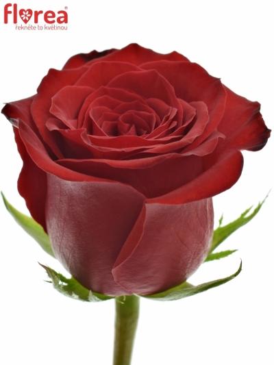 Červená růže FREEDOM 90cm (XL)