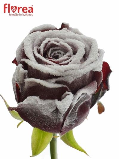 ROSA FROSTWAX RED NAOMI! 70cm (L) R185