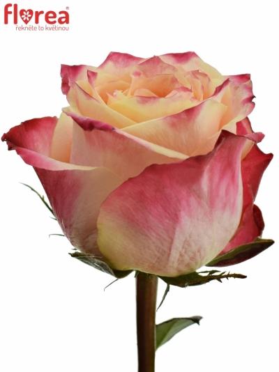 Červená růže ICON 50cm (XL)