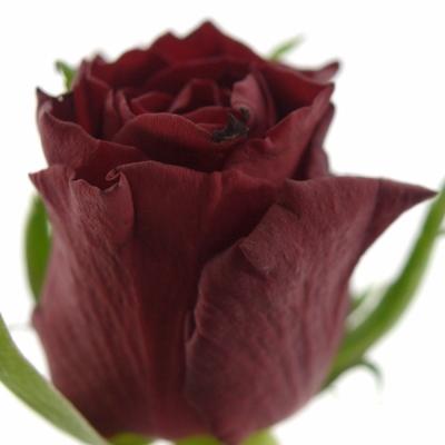 Červená růže LOVE BIRD