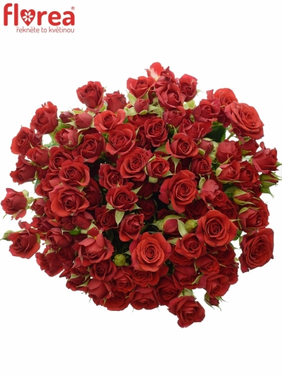 Červená růže MIRABEL 60cm/5+