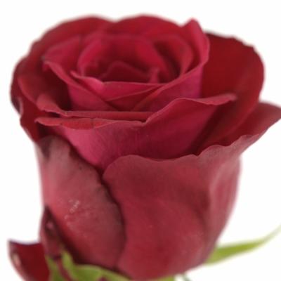 Červená růže ONE LOVE 50cm