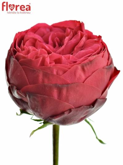 Červená růže PIANO 35cm (XXL)