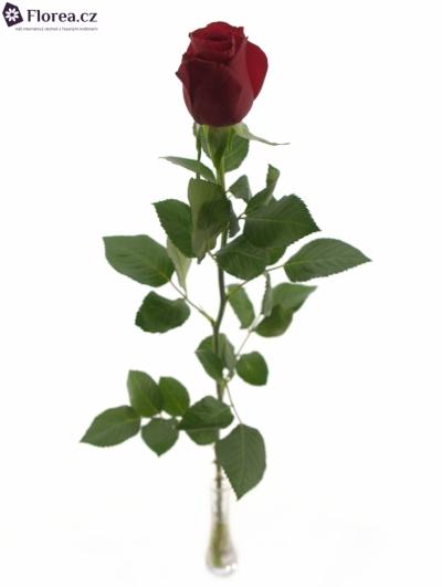 ROSA RED ALERT 70cm