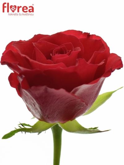 ROSA RED CALYPSO 50cm (S)