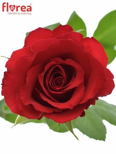ROSA RED CALYPSO 40cm (S)