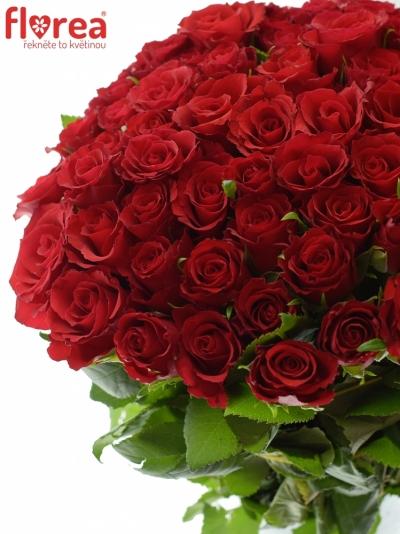 Červená růže RED CALYPSO