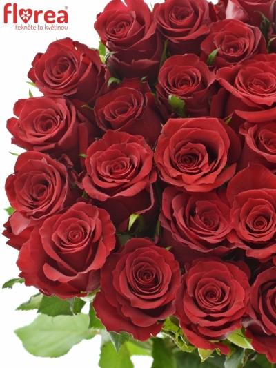 Červená růže RED DRAGON 50cm (S)
