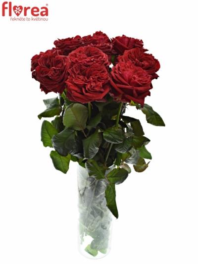Červená růže RED ELEGANCE 70cm (XXL)