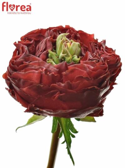 Červená růže RED EYE 60cm