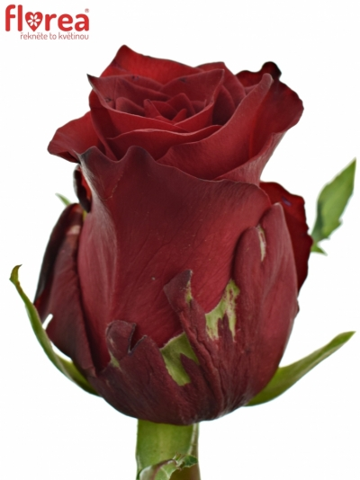 ROSA RED LION 80cm (XXL)