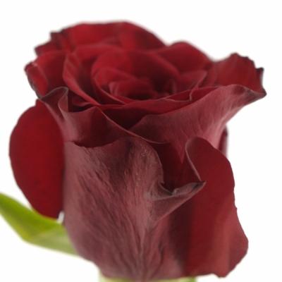 Červená růže RED PARIS