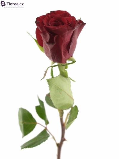 ROSA RED PARIS 60cm (M)