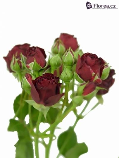 Červená růže RED SENSATION 50cm/5+
