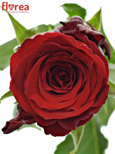 ROSA RED TORCH 60cm (M)