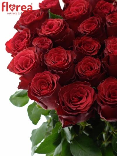 Červená růže RHODOS