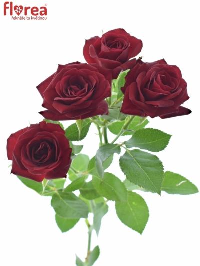 Červená růže RUBICON