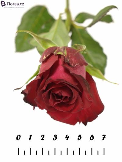 Červená růže SAMOURAI