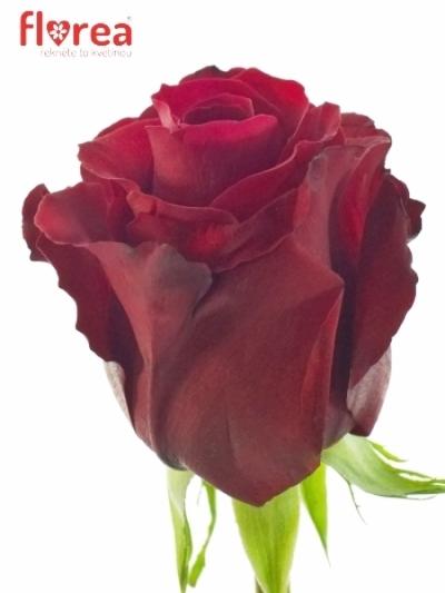 Červená růže SEXY RED 60cm