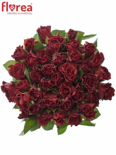 Červená růže Torero