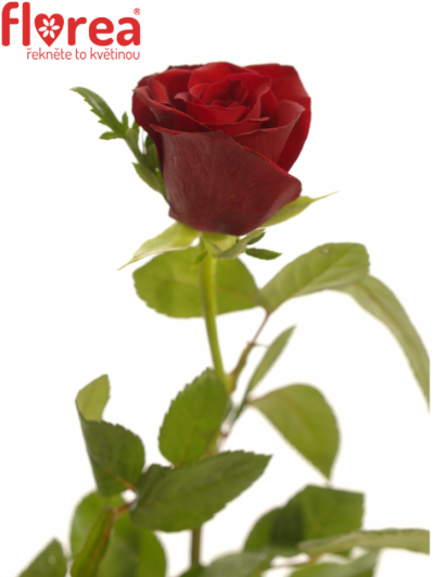 ROSA VICTORIA 40cm (S)