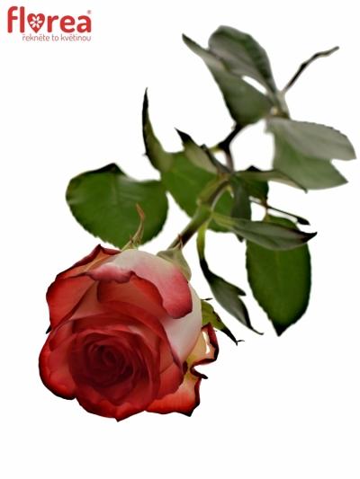 Červenobílá růže BLUSH 70cm