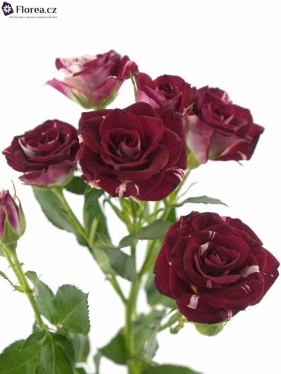 Červenobílá růže FLASH NIGHT