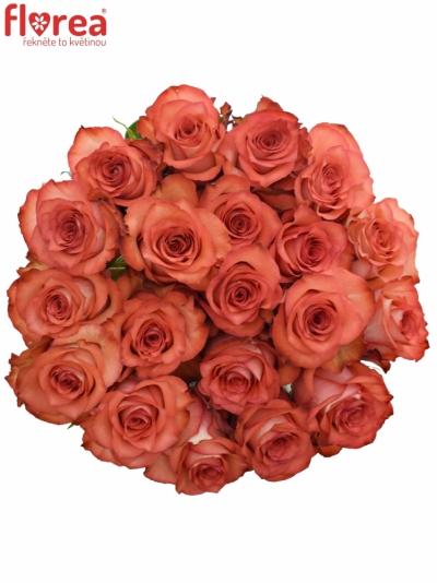 Červenokrémová růže IGUANA 60cm