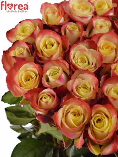 Červenožlutá růže EAGLE EYE+ 50cm (L)