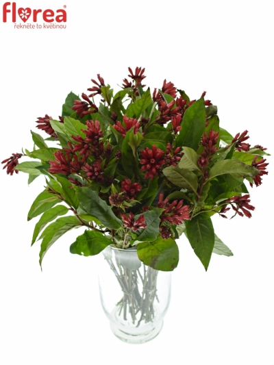 CESTRUM RED ZOHAR 40cm