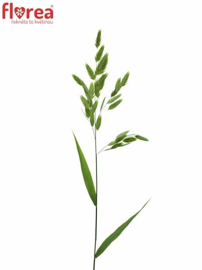 CHASMANTIUM LATIFOLIA 60cm