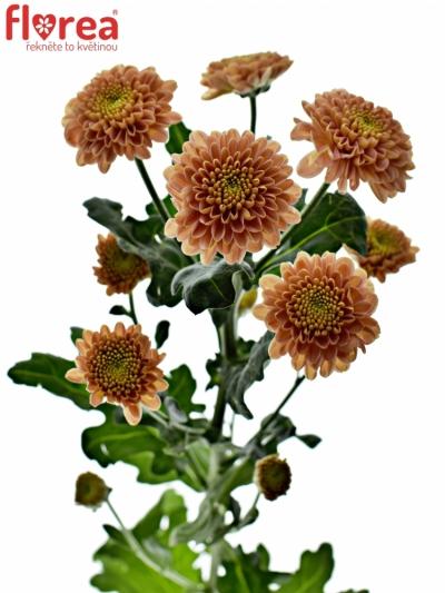 Chrysantema SAN ELLISON SALMON 850g