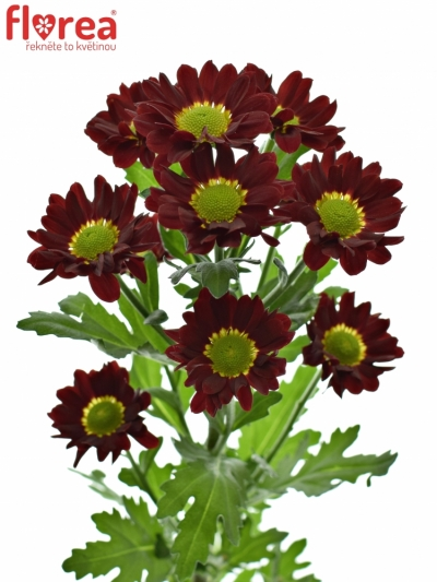 CHRYSANTHEMA SAN SANTESSE 1050g