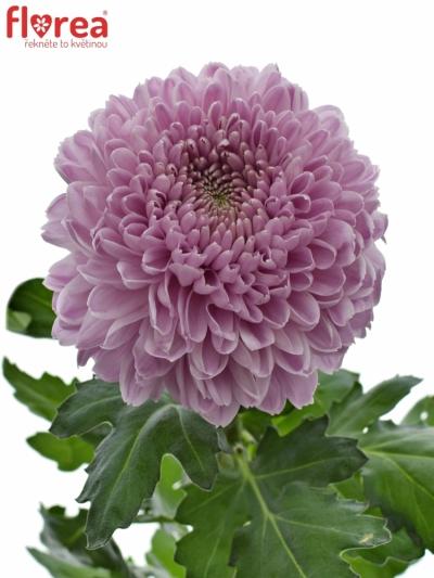 Chrysantéma G VANYA PINK 85g